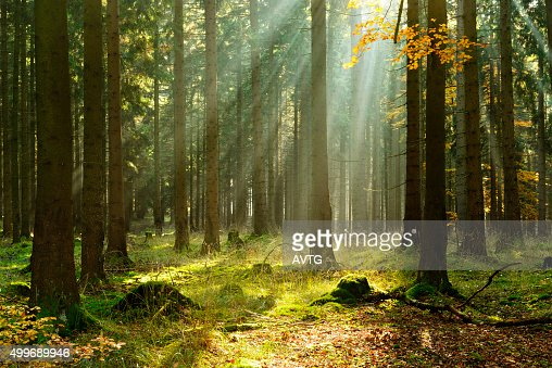 Spruce Tree Forest in Autumn Illuminated by Sunbeams through Fog : Stock Photo