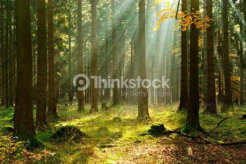 Spruce Tree Forest in Autumn Illuminated by Sunbeams through Fog : Stock Photo