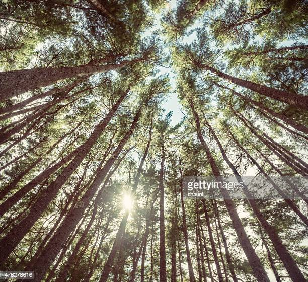 Spruce Tree Sunlight