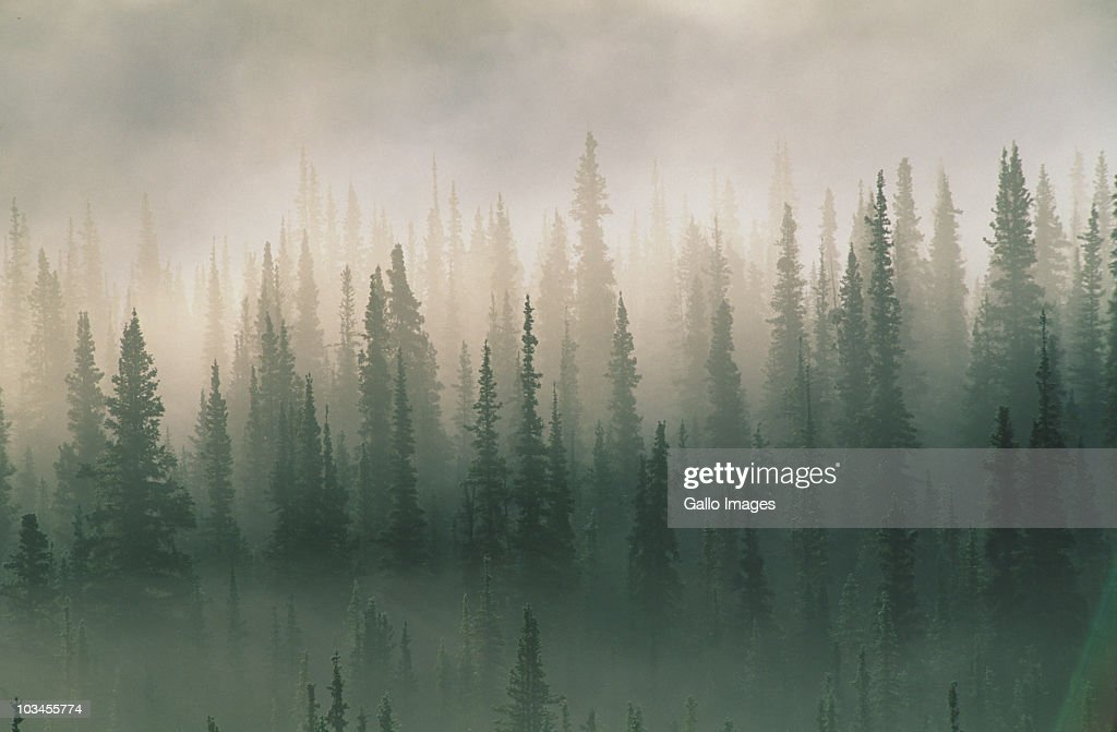 Spruce trees in morning fog, Denali National Park, Alaska, USA : Stock Photo