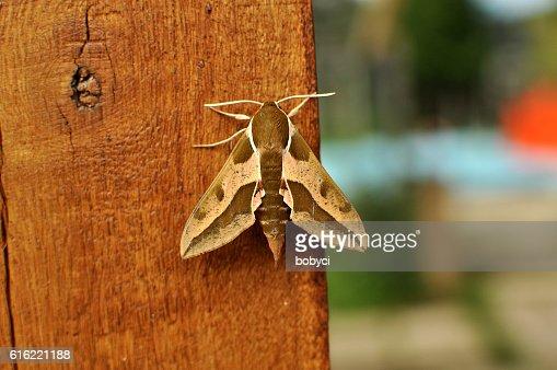 Spurge Hawk Falena (Hyles euphorbiae : Foto stock