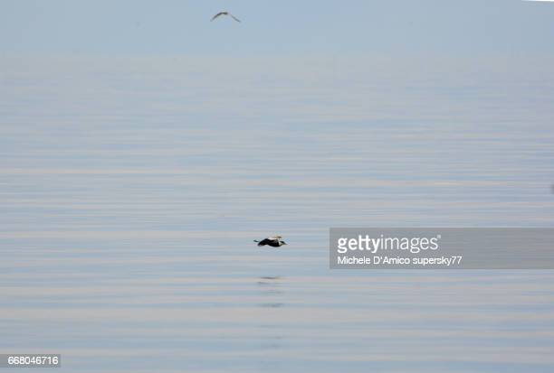Spur-winged lapwing flying on the mirror-like waters of Lake Victoria