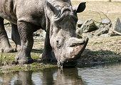 Square Lipped Rhino Drinking