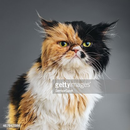 Square Portrait of a Persian Cat Looking at Camera.
