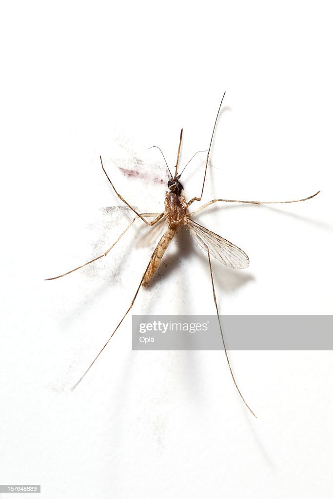 Squashed Mosquito