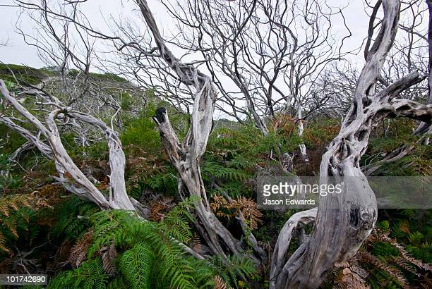 Dead Coastal Teatree branches emerge from an understorey of ferns.