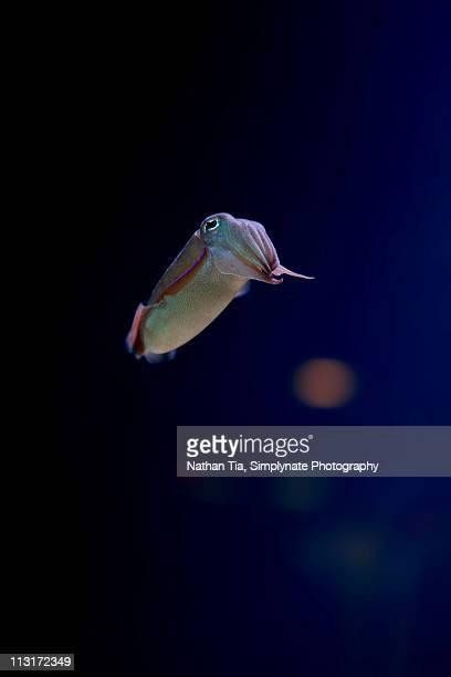 Squid In deep blue water