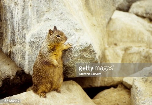 Squirell in Zion Park : Stock Photo