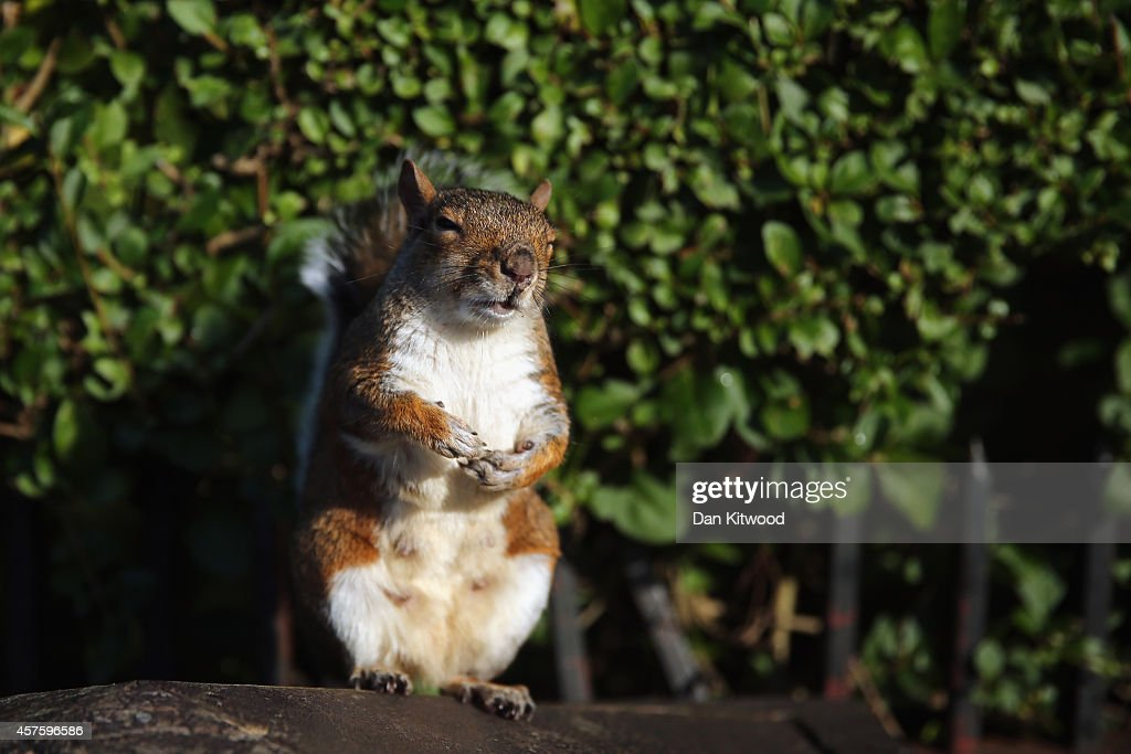 A squirrel appears to sleep in the sunshine on a bin in Regent's Park on October 21 2014 in London England Despite weather warnings issued by the Met...