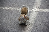 Squirrel on pavement begging for food in between parking lot spaces in Niagara Falls State Park, NY, USA