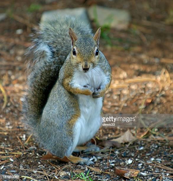 Squirrel Boxer