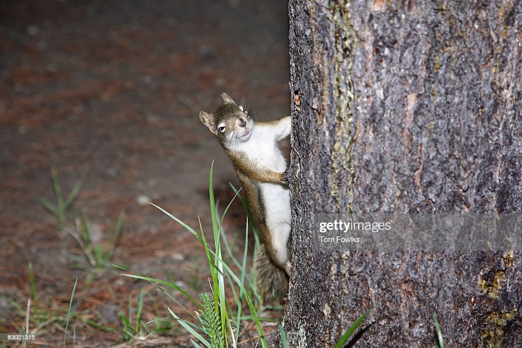 Squirrel climbing up a tree : Stock Photo