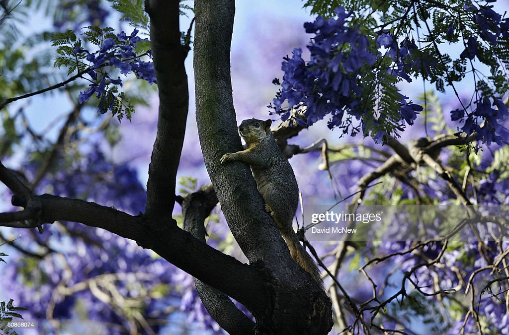 A squirrel climbs among purple blossoms as southern California's Jacaranda trees go into full bloom on May 19 2004 in South Pasadena California The...
