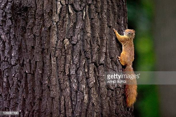 A squirrel climbs on a tree in Dresden eastern Germany on September 13 2010 The red squirrel also called European squirrel is native to Europe and...