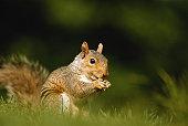 Squirrel, close-up, ground view