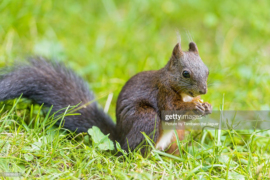 Squirrel eating a nut in the grass : Stock Photo
