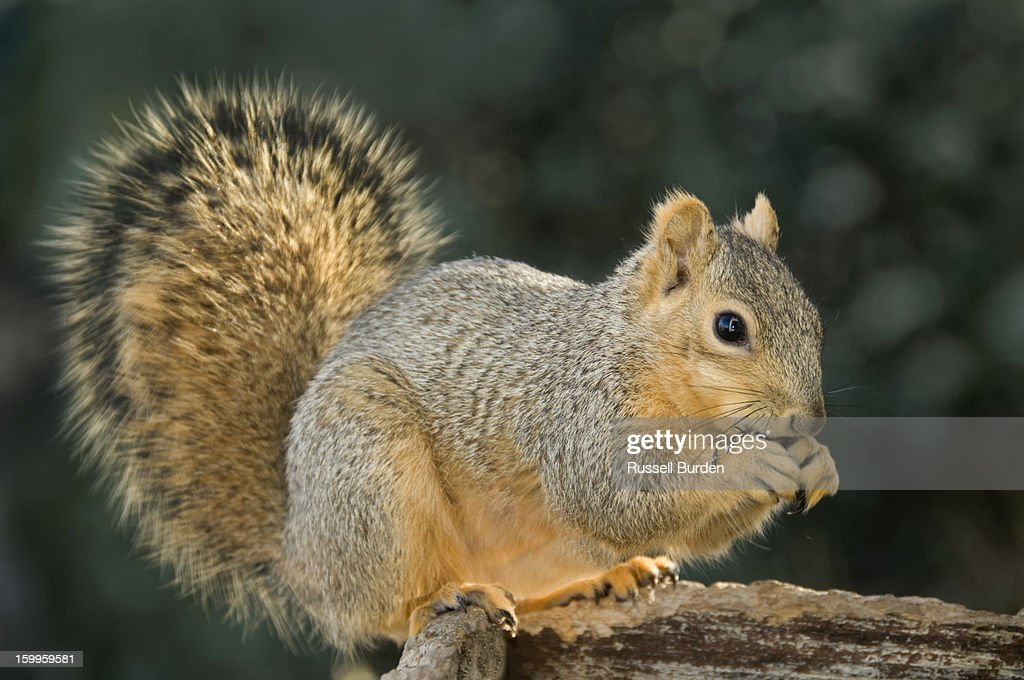 squirrel eating at feeder : Stock Photo