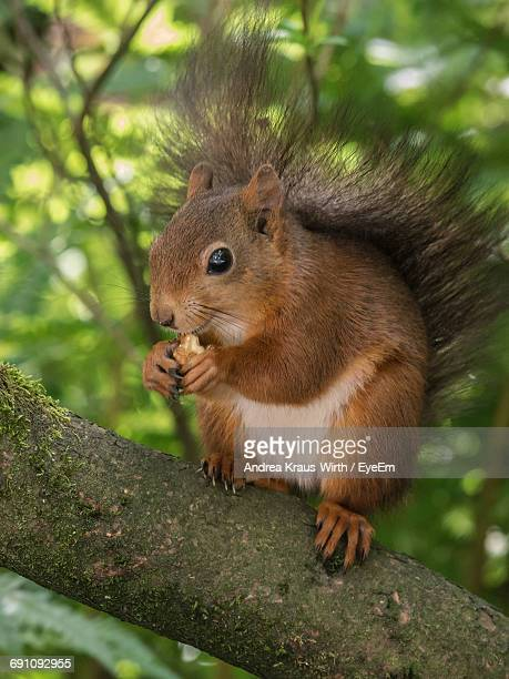 Squirrel Eating Food While Resting On Branch