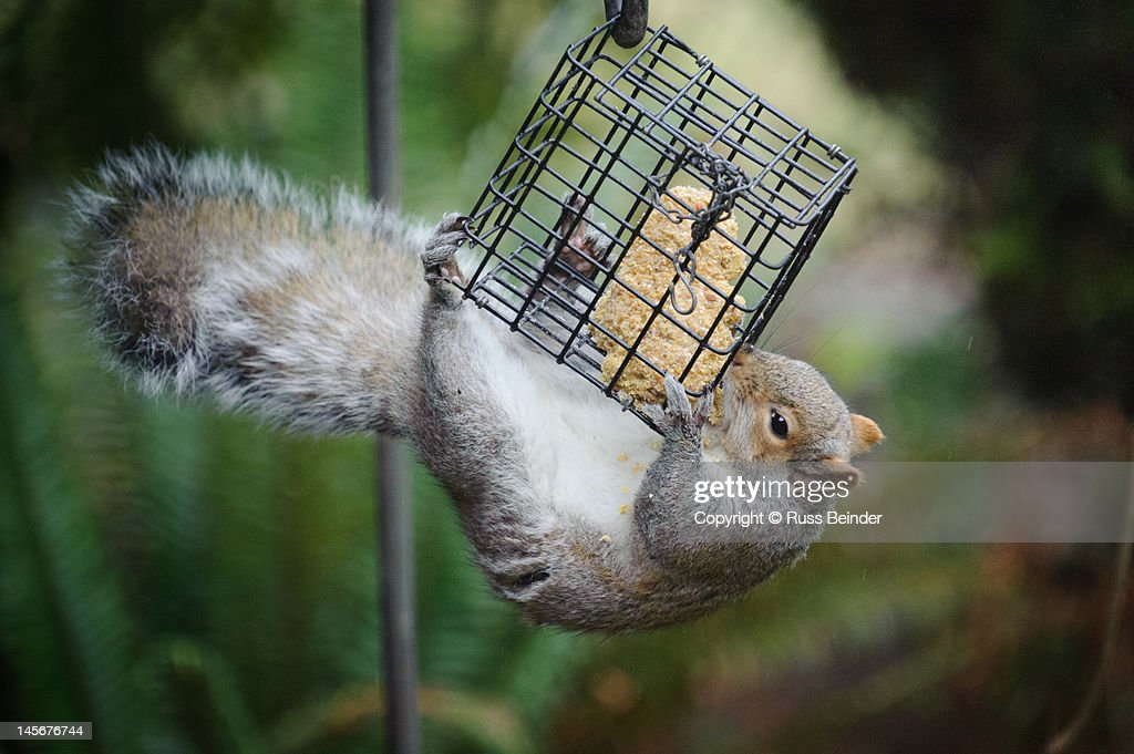 Squirrel eating from bird feeder