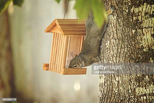 Squirrel eating from birdfeeder