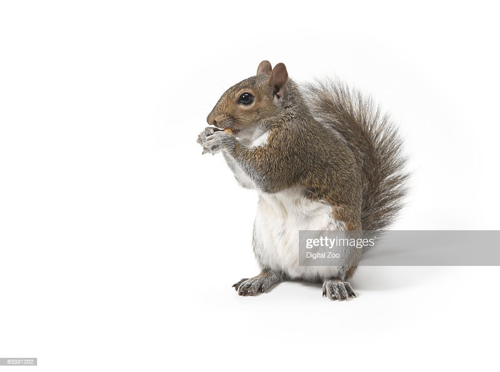 Squirrel eating nut : Stock Photo