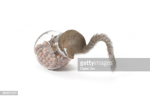 Squirrel eating nuts from jar : Stock Photo