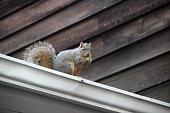 Squirrel Eats a Nut on the Roof. Protected by the rain gutter, this squirrel sits peacefully on the roof eating it's nut.