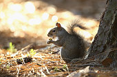 A squirrel eats an acorn during round one of THE PLAYERS Championship at the TPC Sawgrass Stadium course on May 7 2015 in Ponte Vedra Beach Florida