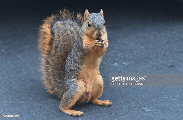 A squirrel eats food found on the grounds of the Hollywood Forever Cemetery in Hollywood California on September 19 2017 / AFP PHOTO / FREDERIC J...