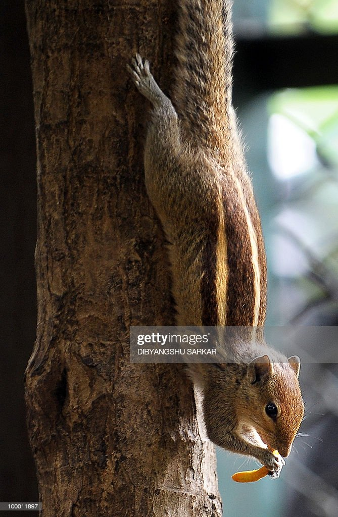 A Squirrel enjoys a snack in Bangalore on May 20, 2010. Infrastructure and development in Bangalore has had a negative effect on the squirrel population due to the loss of natural habitats. AFP PHOTO/Dibyangshu SARKAR