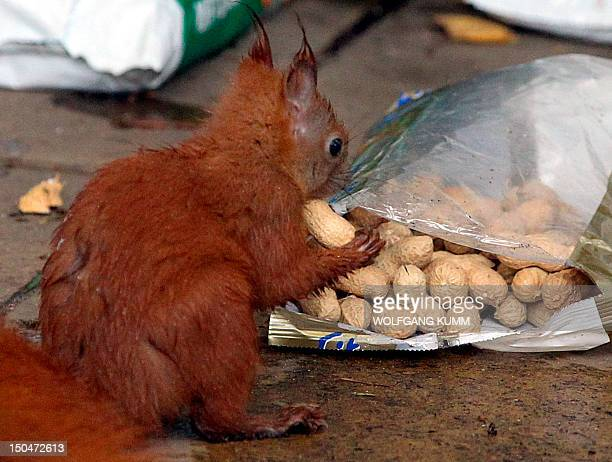 A squirrel feeds on a pack of peanuts in Berlin on November 8 2010 AFP PHOTO / WOLFGANG KUMM GERMANY OUT