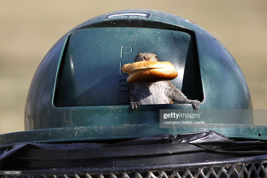 A squirrel found an entire fast food meal in a trash can in Woodland Park in Lexington, Kentucky, Thursday, February 17, 2011. The squirrel climbed inside the can and came out with the remains of a fish sandwich.