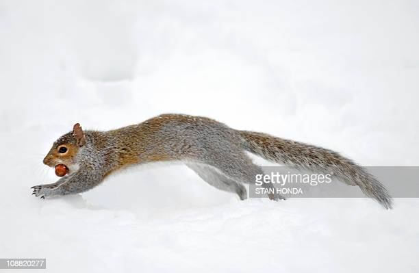 A squirrel holding a nut in its mouth jumps out of a burrow in the snow January 28 2011 in New York's Central Park AFP PHOTO/Stan HONDA