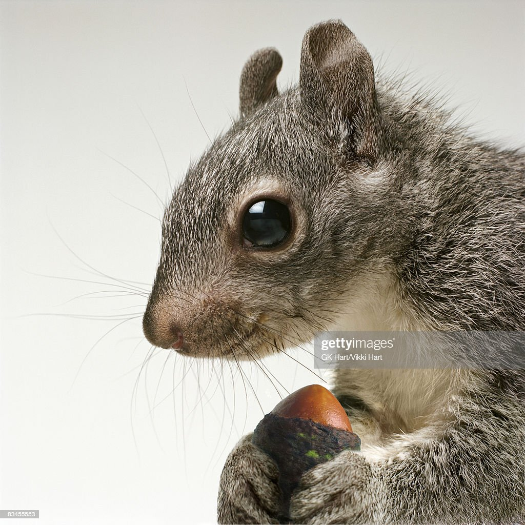Squirrel holding acorn in his paws : Stock Photo