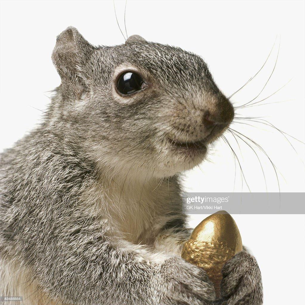 Squirrel holding Golden Acorn