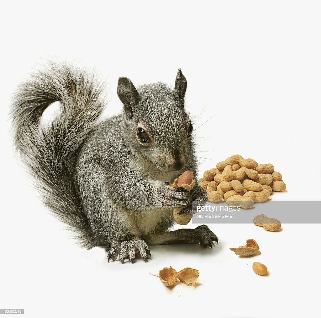 Squirrel  holding peanut with pile of peanuts in b : Stock Photo