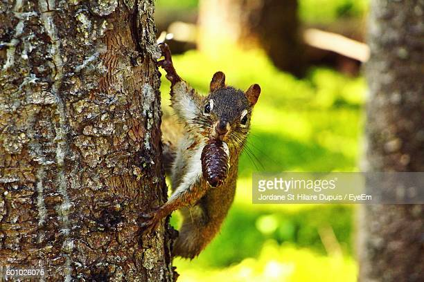 Squirrel Holding Pine Cone On Tree