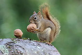 An American red squirrel holding a nut.
