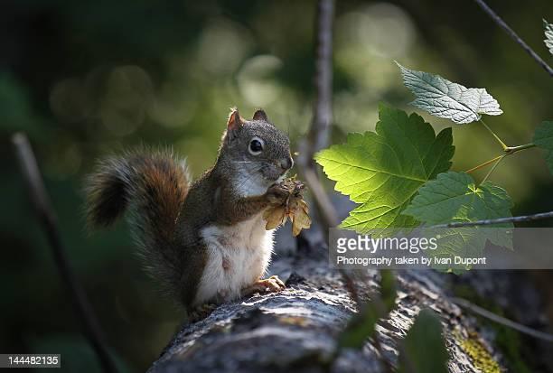 Squirrel in Parc Saguenay