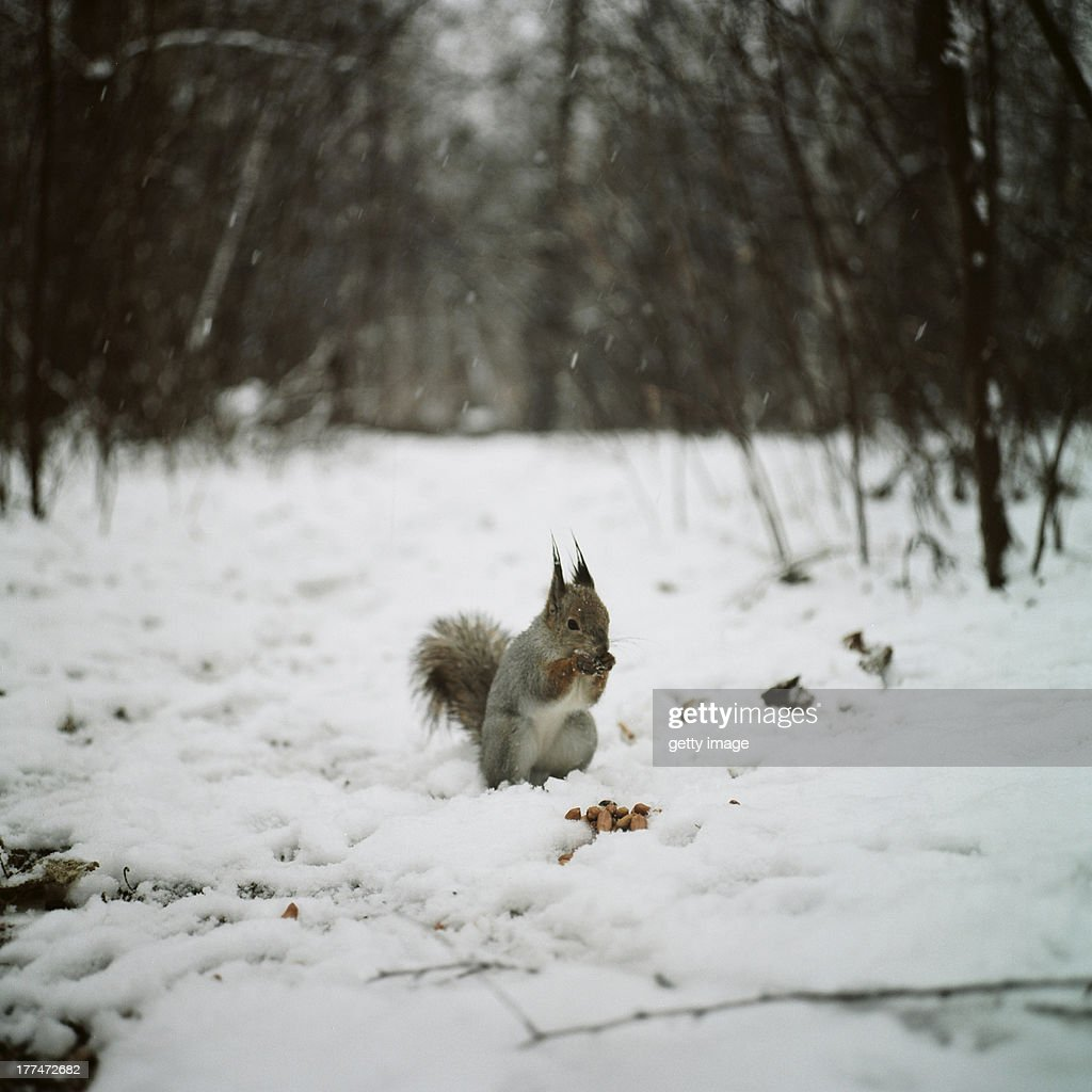 Squirrel in the snow forest