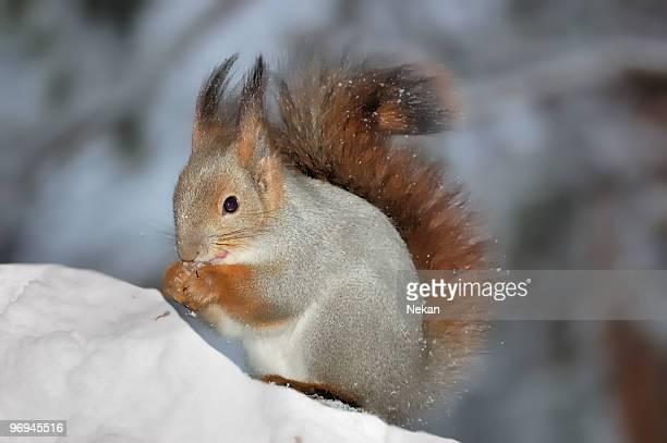 Squirrel in winter forest