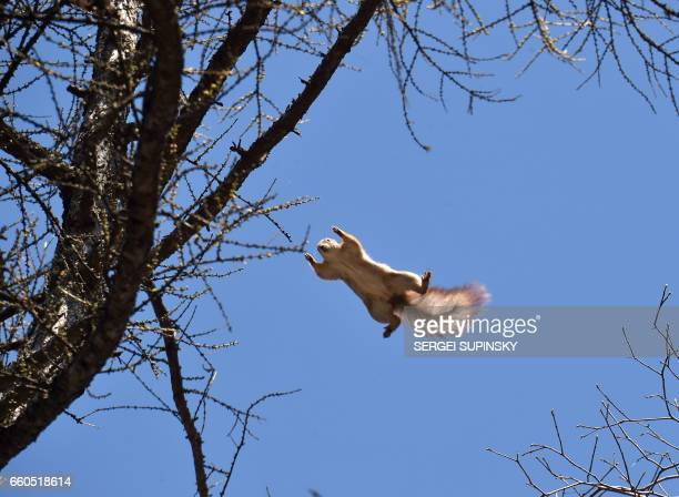 TOPSHOT A squirrel jumps on a sunny day on March 30 2017 in the center of the Ukrainian capital Kiev / AFP PHOTO / Sergei SUPINSKY