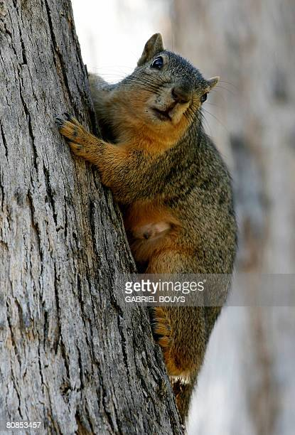A squirrel jumps on a tree in Los Angeles April 24 2008 Recently in the City of Santa Monica California officials came up with a novel way to control...