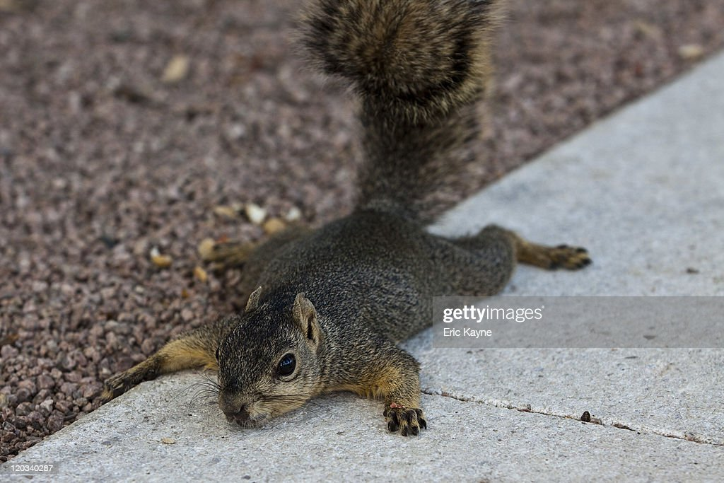 A squirrel lies on a patch of concrete during a hot day August 4 2011 Houston Texas The region has endured over 30days triple didgit temperatures and...