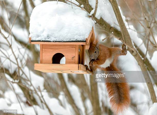 A squirrel looks for food in a bird feeder after a heavy snowfall Meteorologists forecast snowfall for the upcoming days in Germany AFP PHOTO /...