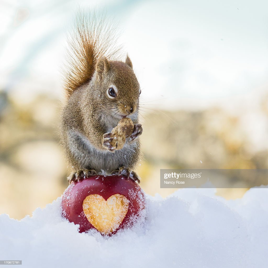 squirrel love stock photo getty images