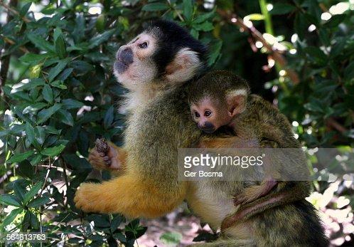 Squirrel Monkey Baby Sitter