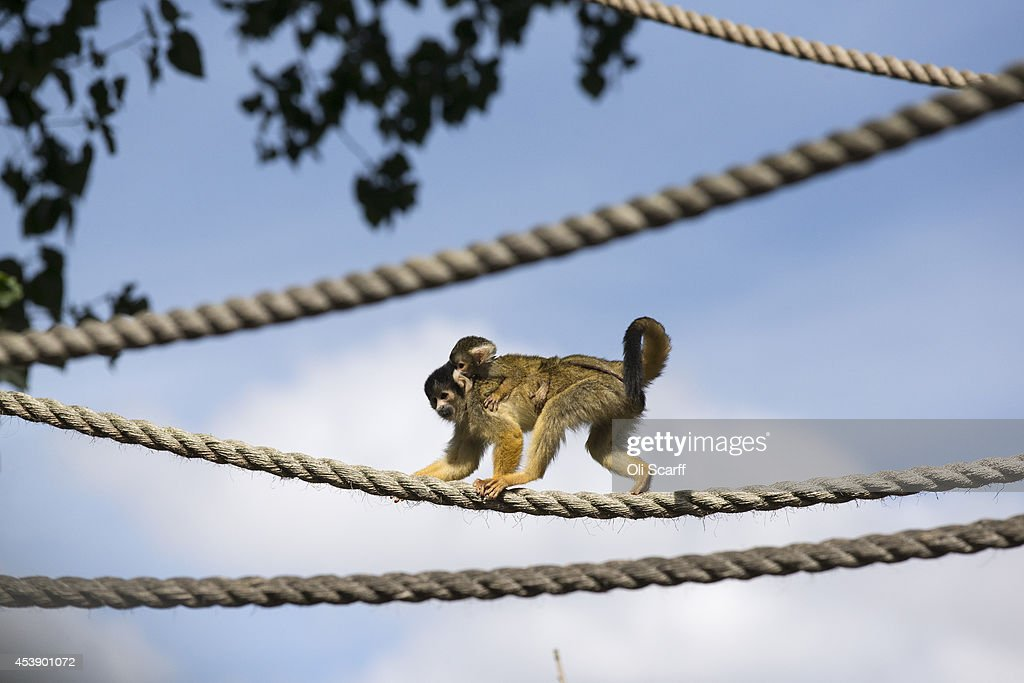 A 'squirrel monkey' carrying a baby prepares to be measured at the annual weightin ZSL London Zoo on August 21 2014 in London England The height and...