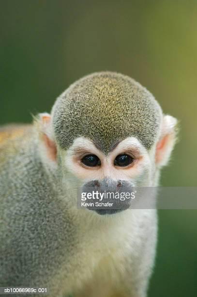 Squirrel monkey (Saimiri sciureus), close-up