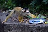 A squirrel monkey grabs food left on scales by a zookeeper during the annual weighin to record animals vital statistics at ZSL London Zoo in London...